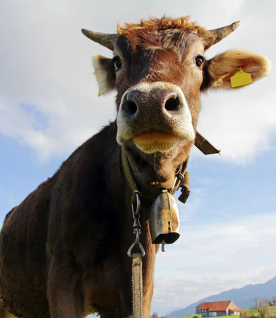 tinnitus ringing in the ears is like a cow carrying a bell, persistant and annoying